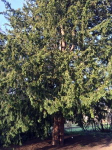 English Yew, Oxford