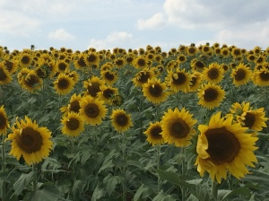 Sunflowers4