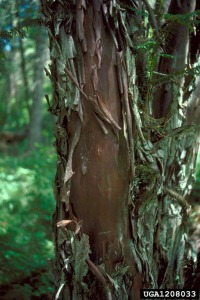 Bark of Pacific Yew