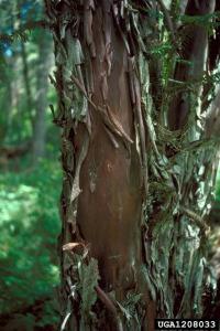Bark of Pacific Yew